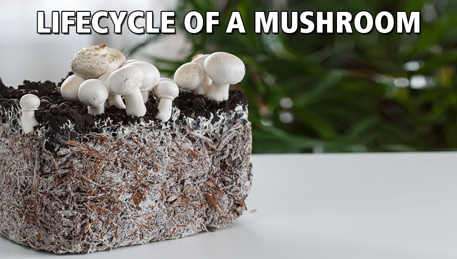 fruiting of growing magic mushrooms for psilocybin therapy