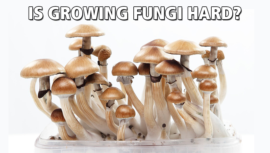 growing magic mushrooms the mind-altering substance