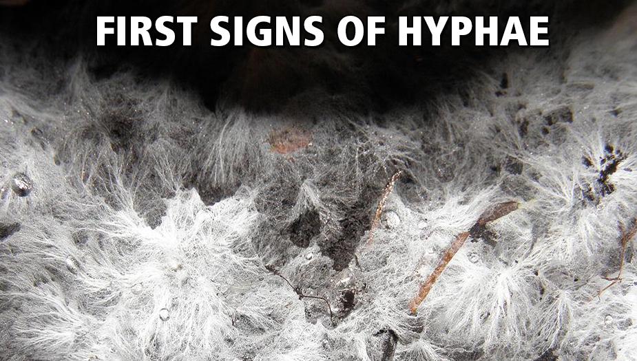 mycelium growing from hallucinogenic fungi